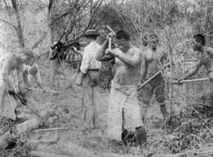 South Sea Islander indentured labourers clearing scrub at Farnborough in 1895 - National Library of Australia.